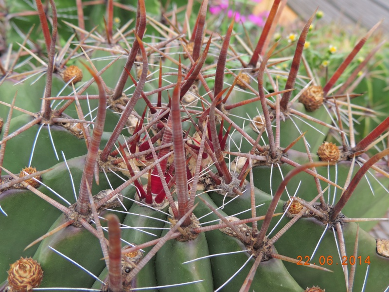Cacti and Sukkulent in Köln, every day new flowers in the greenhouse Part 112 Bild_768