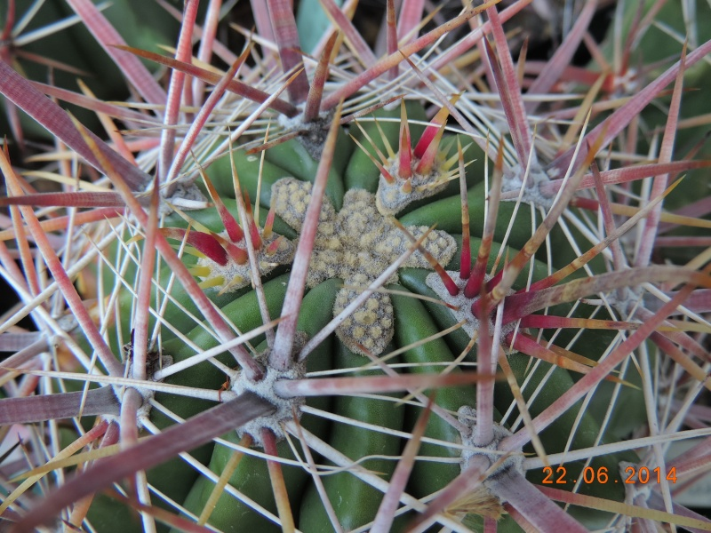 Cacti and Sukkulent in Köln, every day new flowers in the greenhouse Part 112 Bild_776
