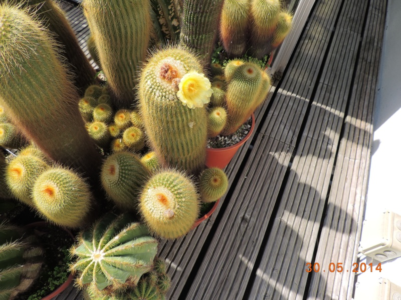 Cacti and Sukkulent in Köln, every day new flowers in the greenhouse Part 112 1/2 Bild_785