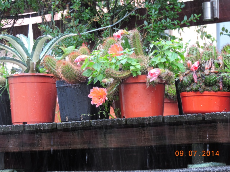 Cacti and Sukkulent in Köln, every day new flowers in the greenhouse Part 112 1/2 Bild_789