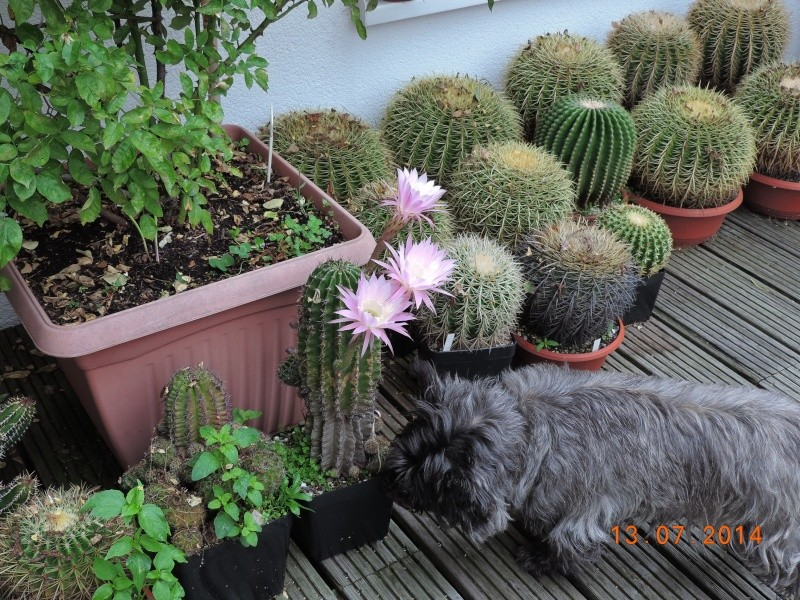 Cacti and Sukkulent in Köln, every day new flowers in the greenhouse Part 112 1/2 Bild_792