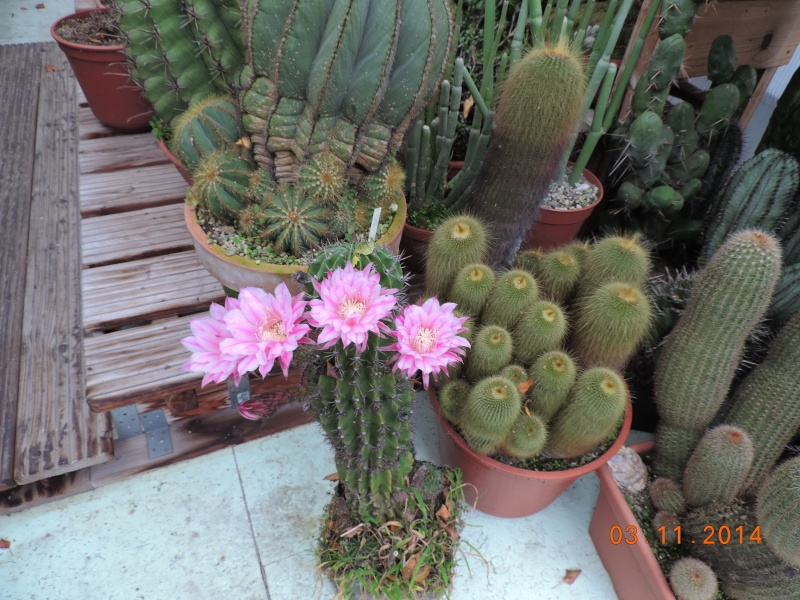 Cacti and Sukkulent in Köln, every day new flowers in the greenhouse Part 111   Bild_815