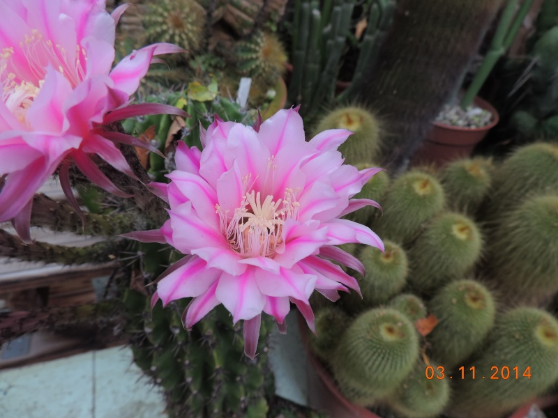 Cacti and Sukkulent in Köln, every day new flowers in the greenhouse Part 111   Bild_816