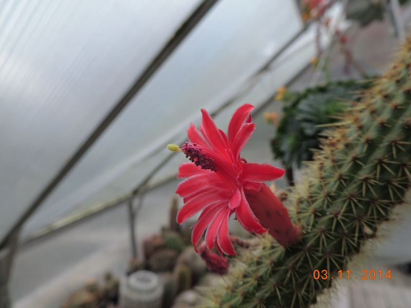 Cacti and Sukkulent in Köln, every day new flowers in the greenhouse Part 111   Bild_820