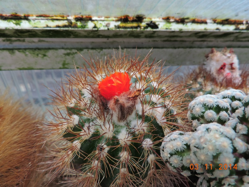 Cacti and Sukkulent in Köln, every day new flowers in the greenhouse Part 111   Bild_834