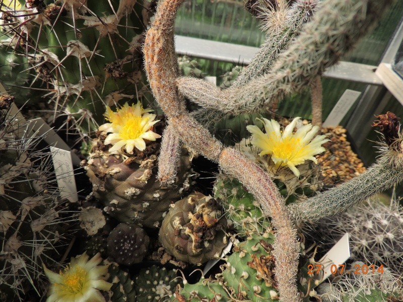 Cacti and Sukkulent in Köln, every day new flowers in the greenhouse Part 111   Bild_844
