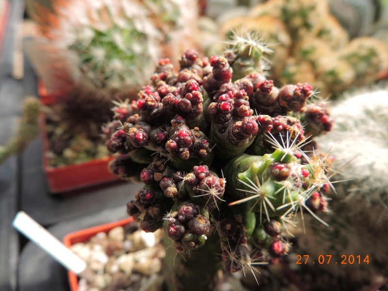 Cacti and Sukkulent in Köln, every day new flowers in the greenhouse Part 111   Bild_847