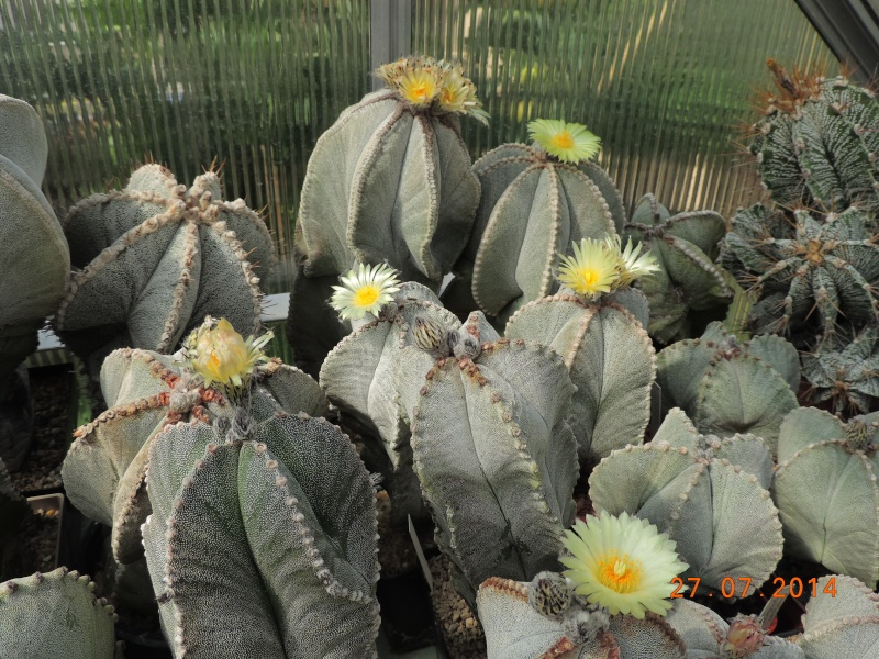Cacti and Sukkulent in Köln, every day new flowers in the greenhouse Part 111   Bild_851