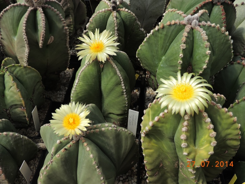 Cacti and Sukkulent in Köln, every day new flowers in the greenhouse Part 111   Bild_852