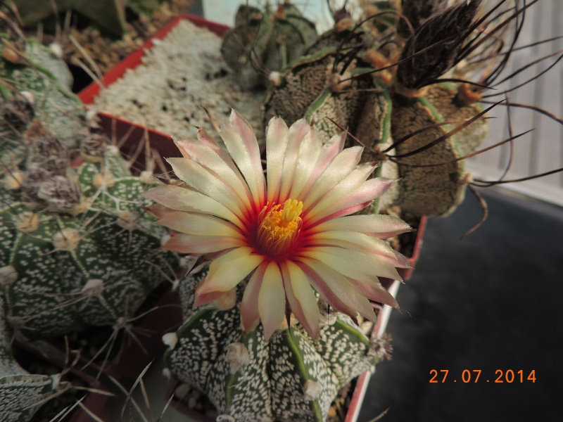 Cacti and Sukkulent in Köln, every day new flowers in the greenhouse Part 111   Bild_856
