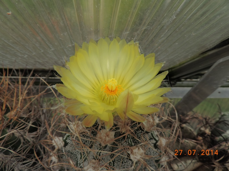 Cacti and Sukkulent in Köln, every day new flowers in the greenhouse Part 111   Bild_860