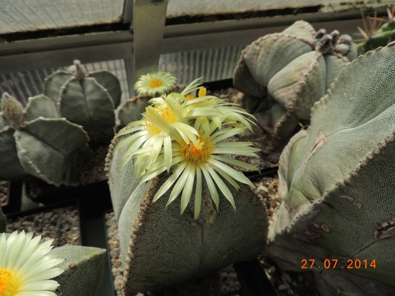 Cacti and Sukkulent in Köln, every day new flowers in the greenhouse Part 111   Bild_866