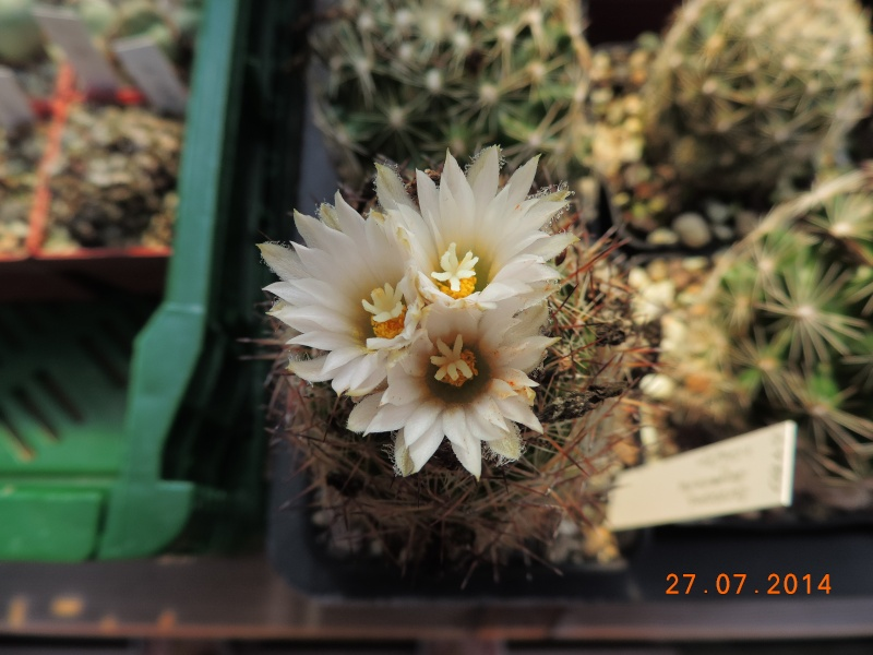 Cacti and Sukkulent in Köln, every day new flowers in the greenhouse Part 111   Bild_868