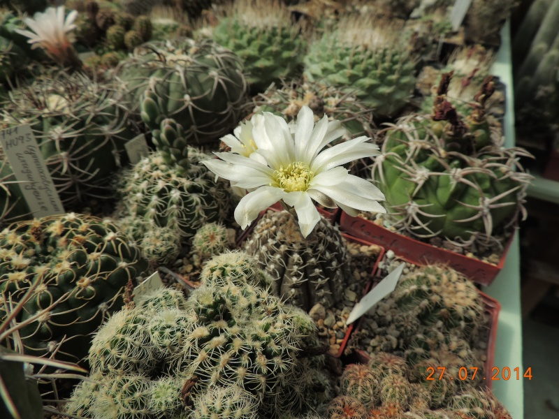 Cacti and Sukkulent in Köln, every day new flowers in the greenhouse Part 112 Bild_872