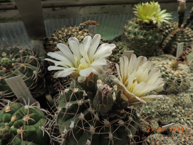 Cacti and Sukkulent in Köln, every day new flowers in the greenhouse Part 112 Bild_875