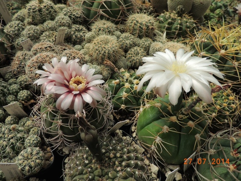 Cacti and Sukkulent in Köln, every day new flowers in the greenhouse Part 112 Bild_876