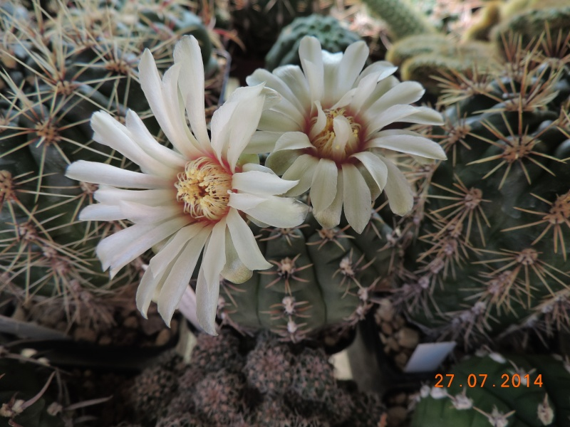 Cacti and Sukkulent in Köln, every day new flowers in the greenhouse Part 112 Bild_880