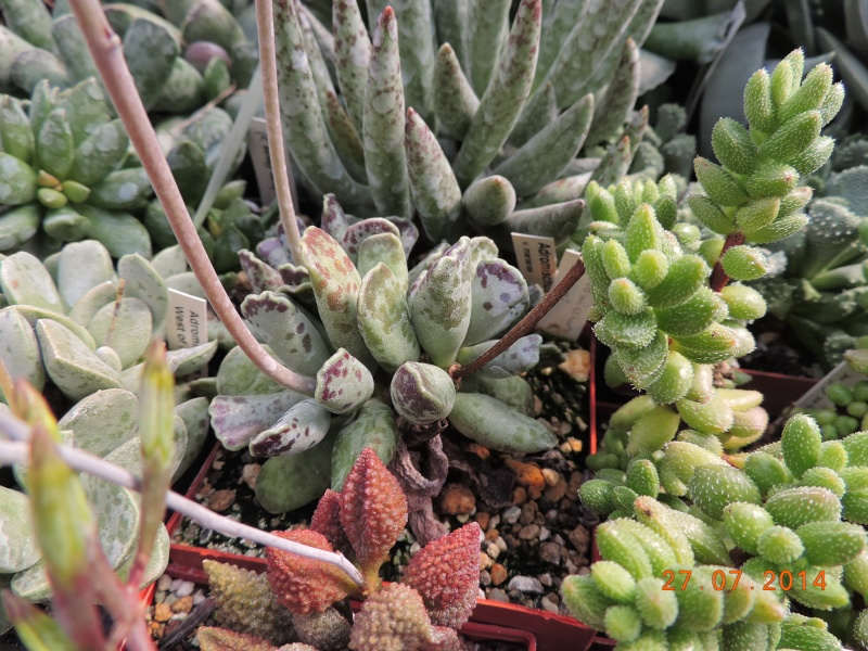 Cacti and Sukkulent in Köln, every day new flowers in the greenhouse Part 112 Bild_897