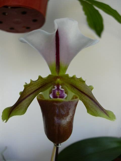 Paphiopedilum spicerianum Paphio12
