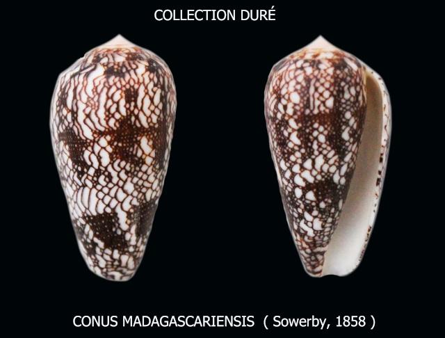 Conus (Darioconus) madagascariensis  Sowerby II, 1858 Panora16