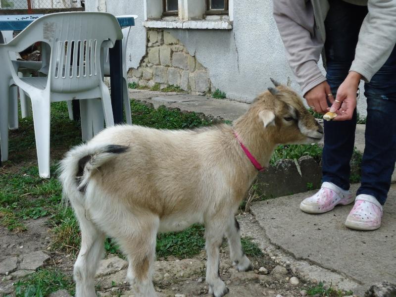 foin pour chèvres naines Dsc01810