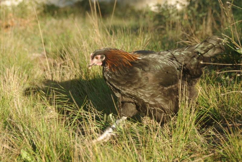 Jeunes coq et poule marans NCC Imgp1512