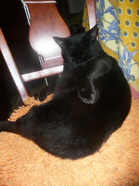 Minuit chat noir Mai 2012 FIV+ (ADPK 35) P1220110