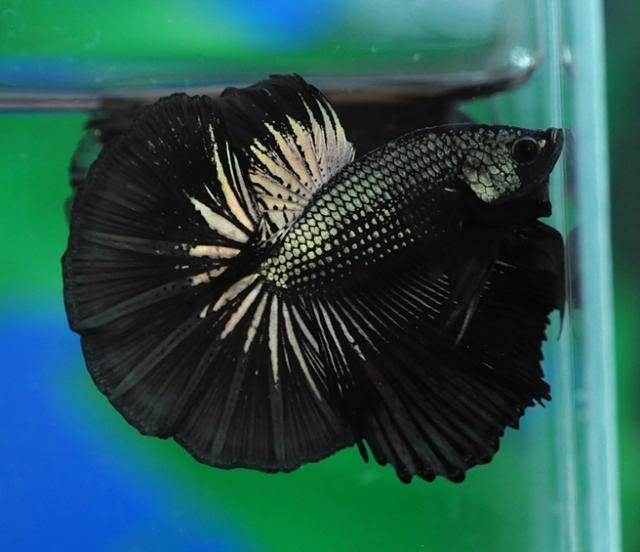 Black Dragon 210