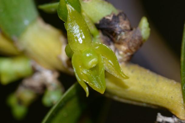 Angraecum costatum Angrae11