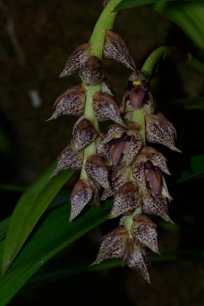 Bulbophyllum variegatum Bulbop11