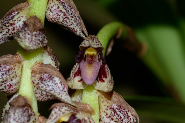 Bulbophyllum variegatum Bulbop12