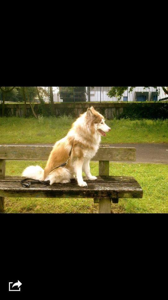 Husky de 5 ans tres gentil va etre mis a la spa ou donner au premier venu 10841210