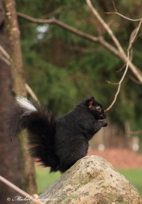 un écureuil moufette ??? W812