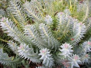 Une euphorbe, mais laquelle? / Euphorbia myrsinites Photo_10