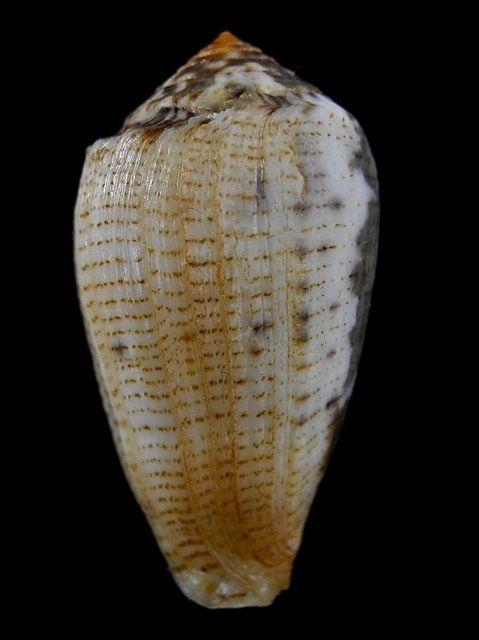 Conus (Pionoconus) barbara  Brazier,1898 Conus_16