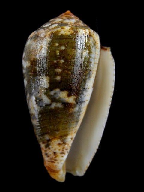 Conus (Pionoconus) barbara  Brazier,1898 Conus_17
