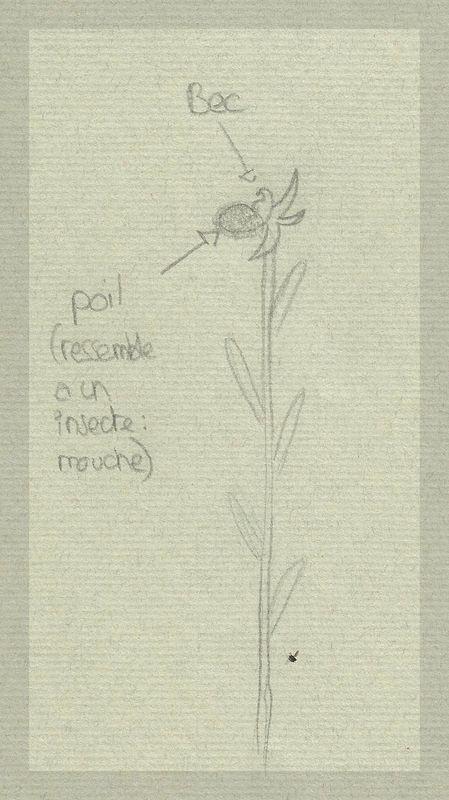 Humanisme, Renaissance et... Ophrys ! Dessin12