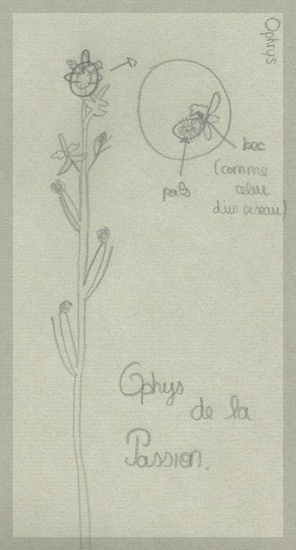 Humanisme, Renaissance et... Ophrys ! Dessin13