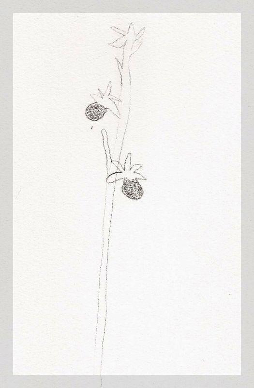Humanisme, Renaissance et... Ophrys ! Dessin14