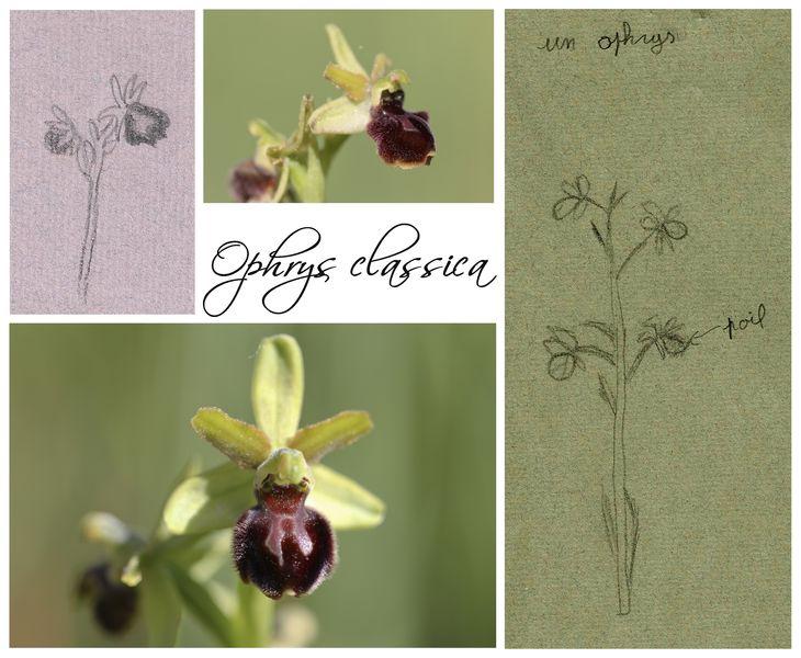Humanisme, Renaissance et... Ophrys ! Ophrys10