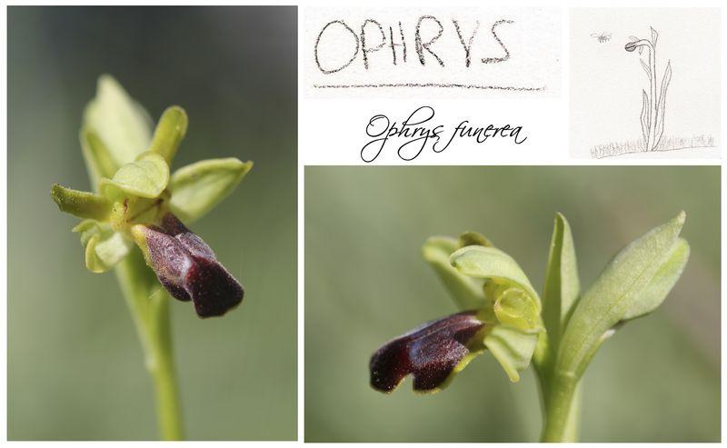 Humanisme, Renaissance et... Ophrys ! Ophrys11