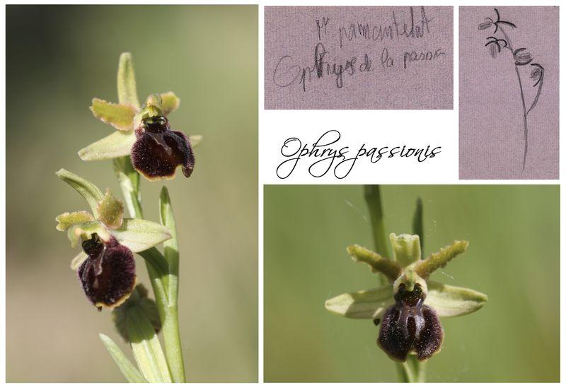 Humanisme, Renaissance et... Ophrys ! Ophrys12