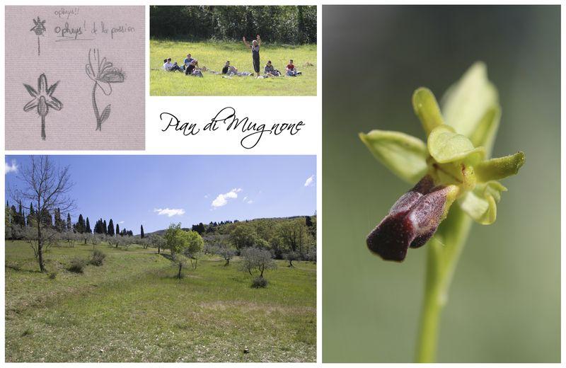 Humanisme, Renaissance et... Ophrys ! Pian_d11