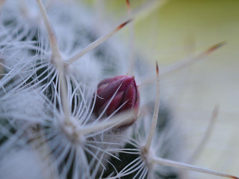 Mammillaria albata var. albata Albata13