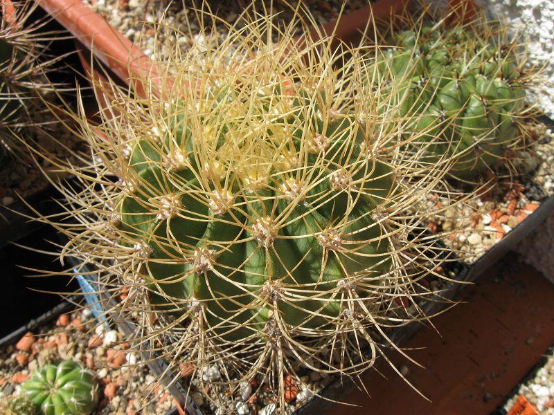 Acanthocalycium spiniflorum fma. violaceum Augus123