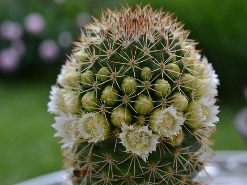Mammillaria backebergiana var. ernestii 'Albiflora' Backeb15
