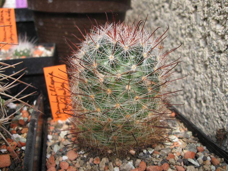 Mammillaria barbata Barbat10