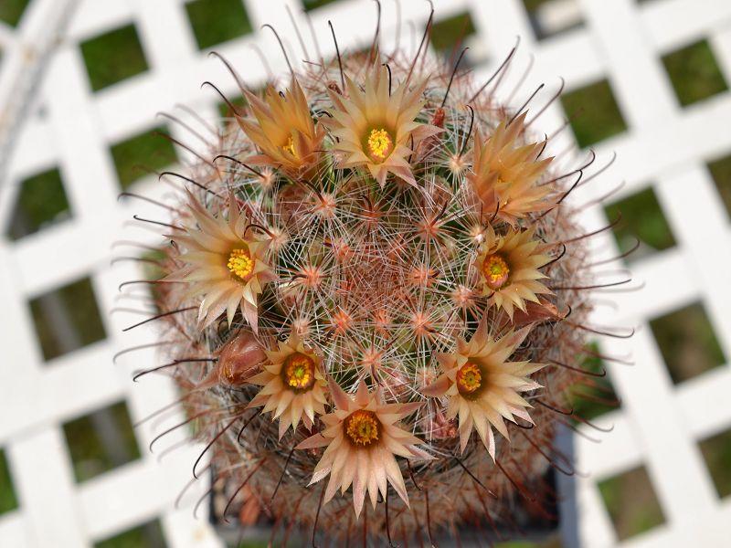 Mammillaria barbata Barbat13