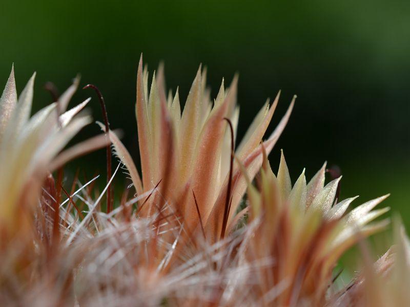 Mammillaria barbata Barbat15