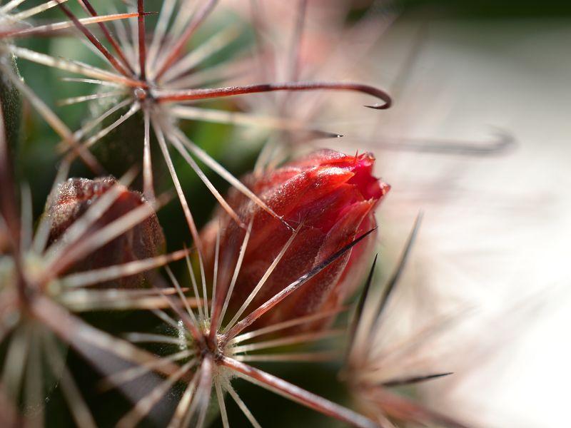Mammillaria berkiana Berkia15